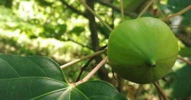 В Сочинском дендрарии созрел смертоносный фрукт