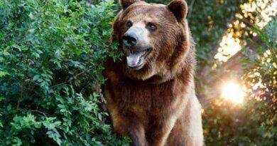 """Почему в Сочи наблюдается """"нашествие"""" медведей"""