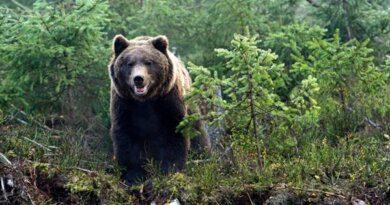 Как спастись от медведя в лесу