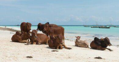Десятки диких коров нападают на туристов во Франции