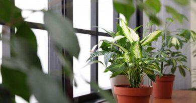 Чтоделать скомнатными растениями перед зимой&nbsp