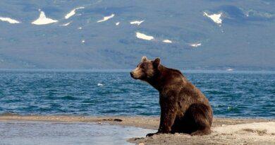 Видео: медведь с россиянином посмотрели на пейзаж Камчатки