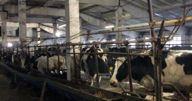 На ферме в Колве каждый день получают по 400 литров молока в день