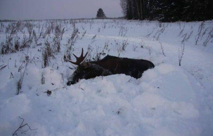 Охотникам в Усинске разрешили отстрелить 30 лосей