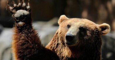 Под Усинском не уснул медведь – снега нет