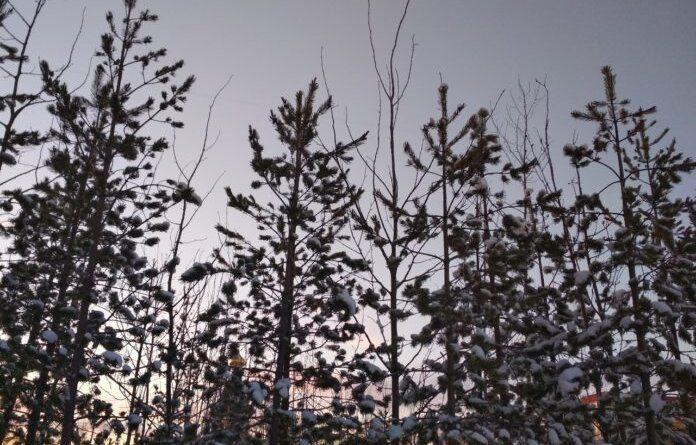 В Коми установили цены на новогодние елки