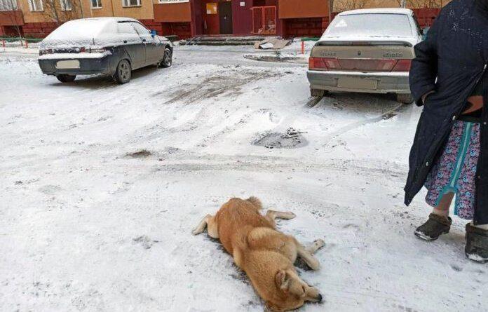 В Усинске кто-то начал отстреливать бездомных собак
