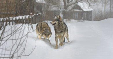За волков продолжают выплачивать 20 тысяч рублей